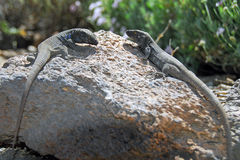 Two lizards in Tenerife. Two lizards in the sun on a rock in the Tenerife Teide volcano Stock Photos