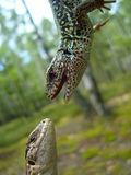 Two lizards Stock Images