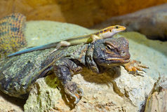 Two lizzards Royalty Free Stock Images