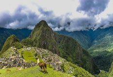 Two Llama on a plateau area in Machu Picchu royalty free stock photo