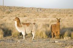 Two Llamas Royalty Free Stock Photography