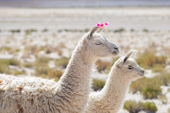 Two llamas on the Andean highland in Bolivia Royalty Free Stock Image