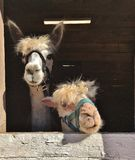 Two Llamas in a Barn Royalty Free Stock Images
