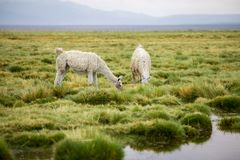 Two llamas in the Altiplano eating grass Stock Images