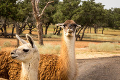 Two Llamas. In a field in Texas Royalty Free Stock Photos