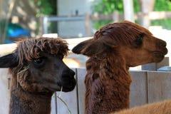 Two llamas heads Royalty Free Stock Image