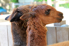 Two llamas heads Royalty Free Stock Photography
