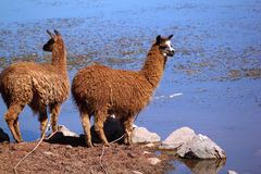 Two llamas near water Royalty Free Stock Images
