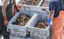 Two full bins of live Maine lobters ready for market. Two lobster fishermen pack up two full bins of freshly caught lobsters to bring to market at the shore stock photos