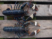 Two lobsters at food market. Close-up of two fresh lobsters for sale at food market stock photography