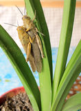 Two locusts on a green leaf Stock Photo