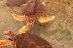 Two loggerhead sea turtle in Gumbo limbo natural c. Two loggerhead sea turtle ( caretta caretta) swiming in shallow water stock photography