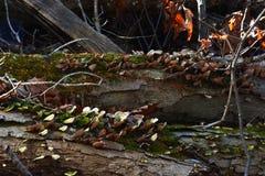 Fungi on rotting logs Stock Photography