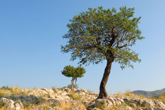 Two lone trees on hill. A view of two small trees growing on rocky ground at the top of Castle Hill at Mykene, Greece Stock Image