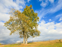 Two lonely autumn trees on sky background. Lonely autumn tree on sky with some cirrus clouds background Royalty Free Stock Images
