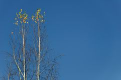 Two lonely birches against the blue sky Royalty Free Stock Photo