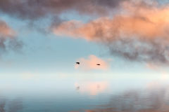 Two lonely ducks flying in sunset. Over body of water Royalty Free Stock Photography