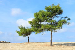 Two lonely pine trees on sky background royalty free stock images