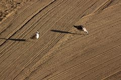 Two lonely seagulls on cleaned by a tractor sand on the Mediterr Stock Photo