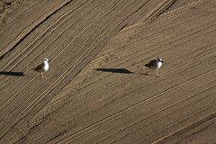 Two lonely seagulls on cleaned by a tractor sand on the Mediterr Royalty Free Stock Image