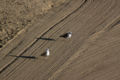 Two lonely seagulls on cleaned by a tractor sand on the Mediterr Royalty Free Stock Photos
