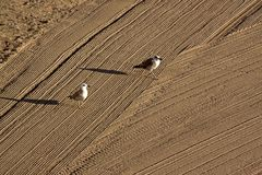 Two lonely seagulls on cleaned by a tractor sand on the Mediterr Royalty Free Stock Images