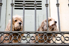 Two lonely spaniels Stock Photos