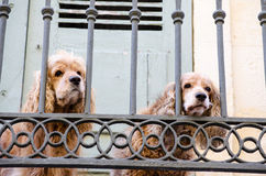 Two lonely spaniels Royalty Free Stock Photos