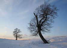 Two lonely standing lime trees royalty free stock photo