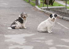 Two lonely street dog sitting on asphalt Royalty Free Stock Photos