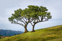 Two lonely trees growing in the hills of Madeira mountain plateau Royalty Free Stock Photos