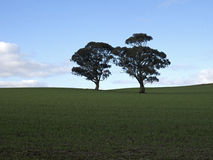 Two Lonely Trees. Two trees in a scenic field, green grass, blue sky Royalty Free Stock Images