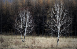 Two lonely trees stock photography