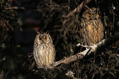 Two long-eared owl perching. At the branch Stock Photography