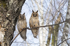 Two Long-eared Owls in spring in birch forest Royalty Free Stock Photo