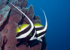 Two long finned bannerfish. A pair of longfinned bannerfish swimming in front of a sea sponge Stock Photo