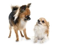 Two long hair chihuahuas. In front of white background Stock Photo