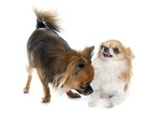 Two long hair chihuahuas. In front of white background Royalty Free Stock Photos