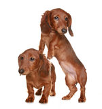Two long haired Dachshund dog. Two little brown long haired Dachshund dog stock photos