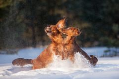 Two dachshund dogs playing outdoors in winter. Two long haired dachshund dogs outdoors in winter royalty free stock photos