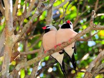 Two Long-tailed finch birds Royalty Free Stock Image