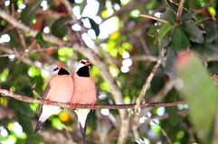 Two Long-tailed finch birds in aviary, Florida Stock Photos