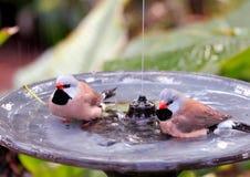 Two long-tailed finch birds in birdbath Stock Photos