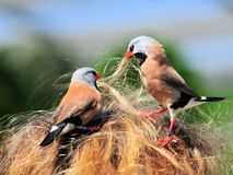 Two Long-tailed finch birds in woman hair Royalty Free Stock Images