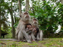 Two long tailed macaque mothers with babies Royalty Free Stock Photos
