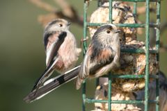 Two long tailed tits perching on a bird feeder. Portrait of a pair of long tailed tits perched on a bird feeder full of fat balls Stock Images