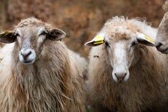 Two long winter wool hair sheep looking at the camera Stock Photos