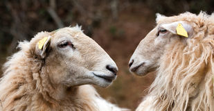 Two long wool sheep facing and watching at each other Royalty Free Stock Photo
