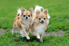 Two Longhair Chihuahua dog Stock Image