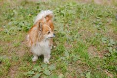 Longhair Chihuahua dog in green summer grass.small funny hairy chihuahua is standing in the garden.brown puppy standing Royalty Free Stock Photography